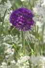 Allium aflatunense �Purple Sensation�